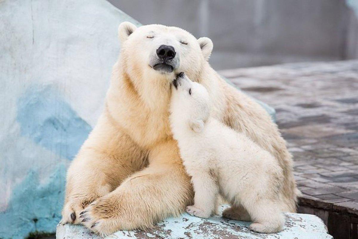 Фото Белый медвежонок ластится к маме медведице