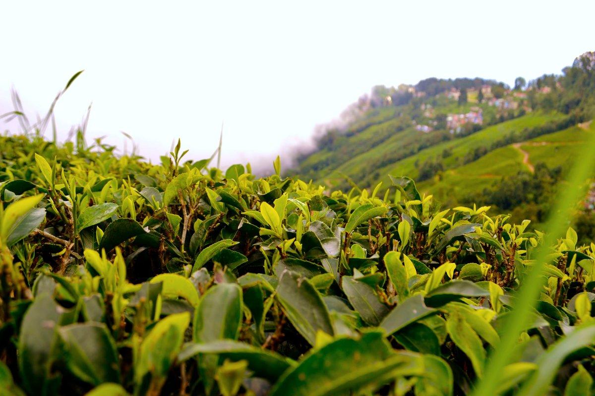 построю чай картинки как растет чай отличное