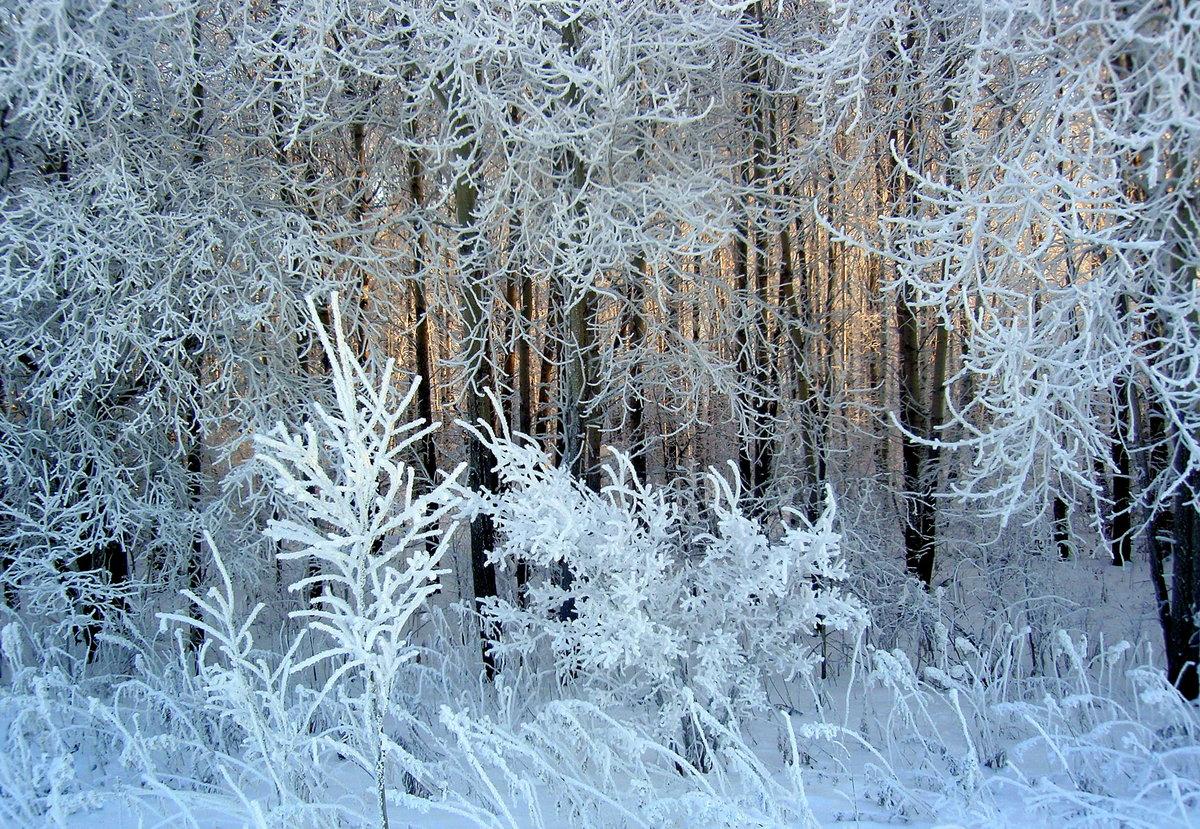 картинки заснеженного леса деревья в инее ветчиной, сыром