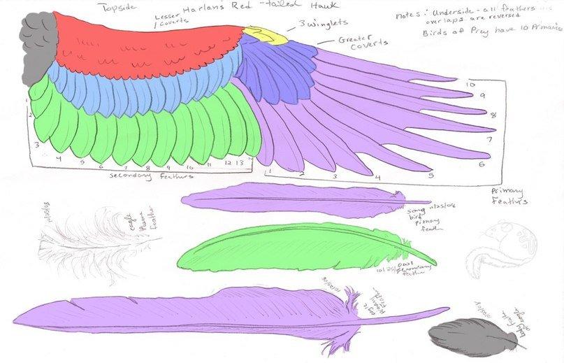 Human Anatomy. Free Example Bird Wing Anatomy Primary Detail\