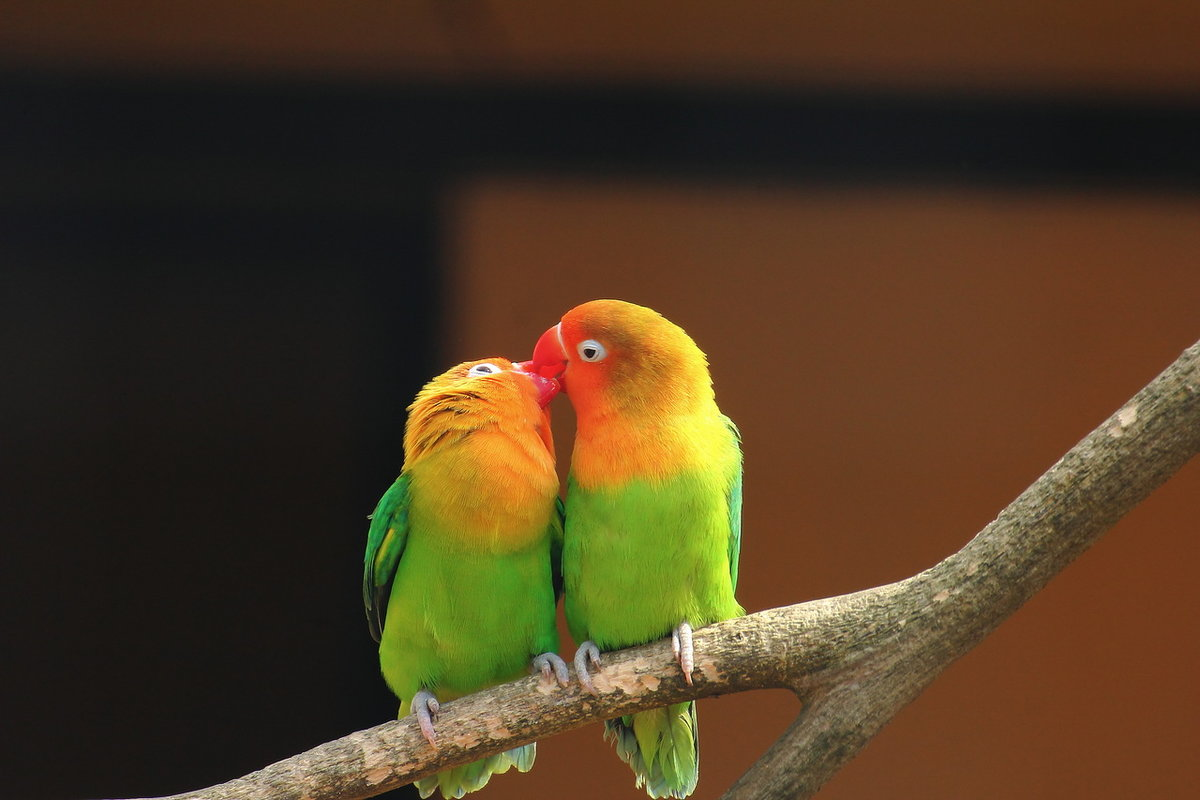 попугаи целуются картинки вами ведь