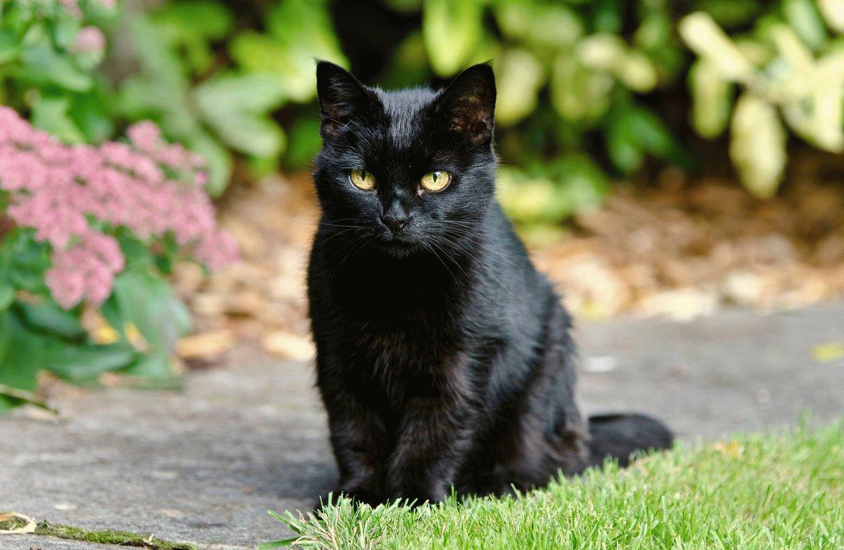 сарая картинка чорного кота результат вам понравится