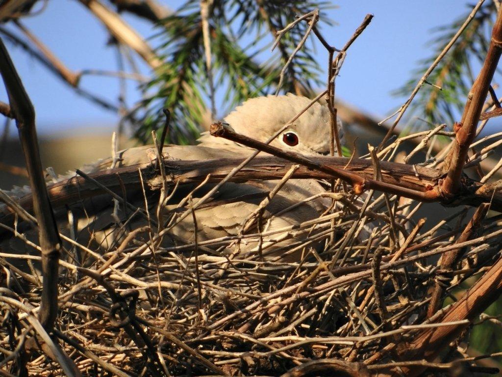 Гнездо горлицы картинки