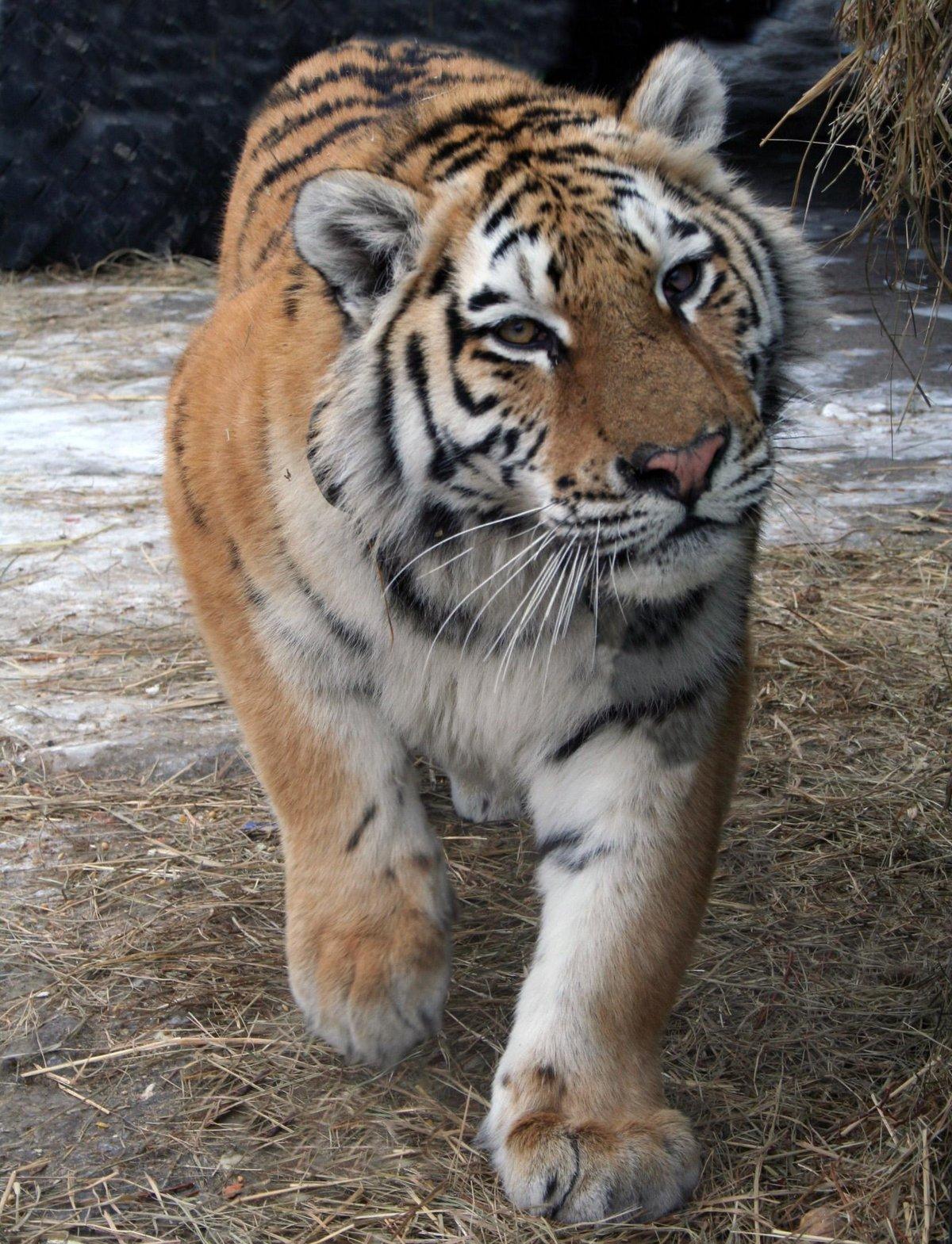 Уссурийский...наш#животные #звери #приморье #природа #тигр #Ñищники