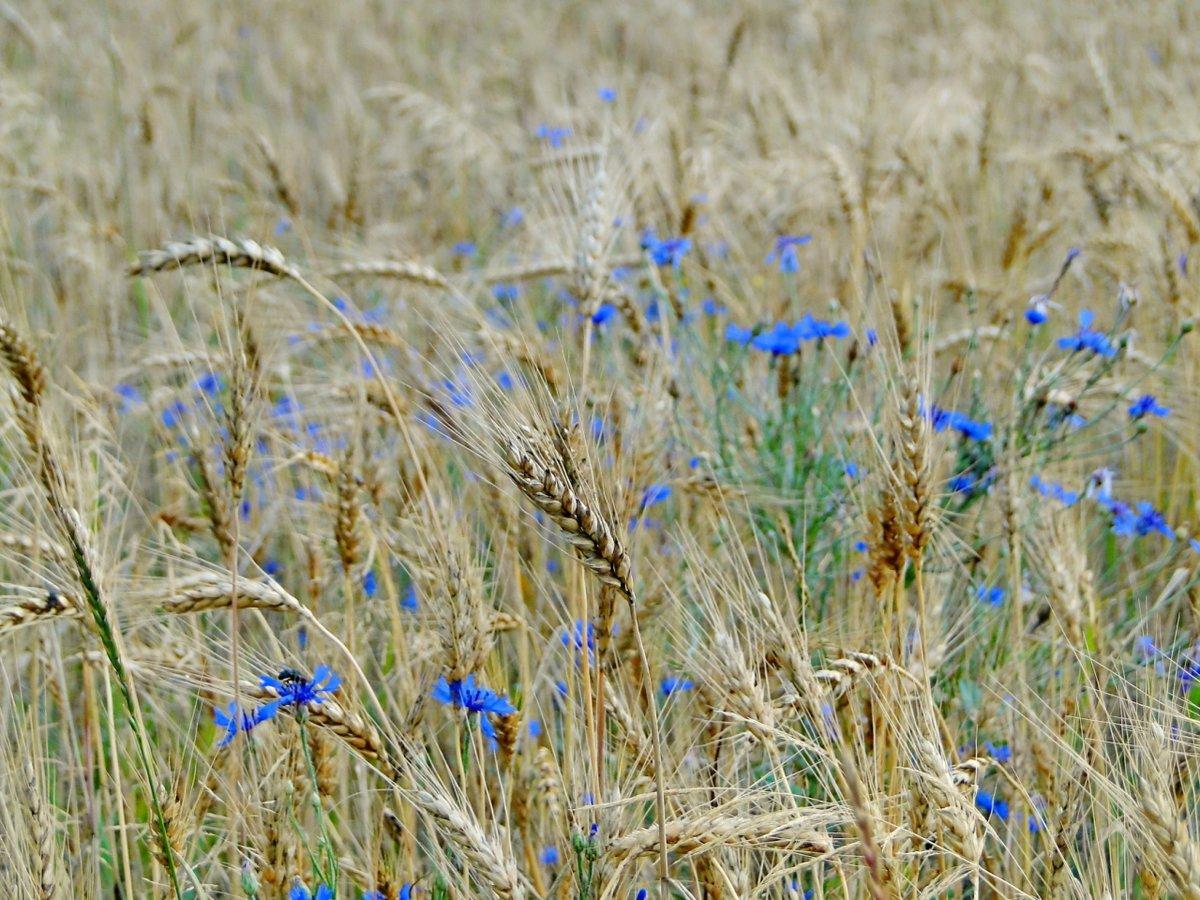 Картинка поле пшеницы с васильками