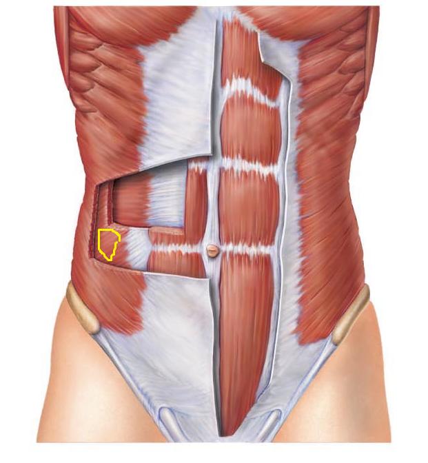 мышцы живота анатомия фото появлению обязаны