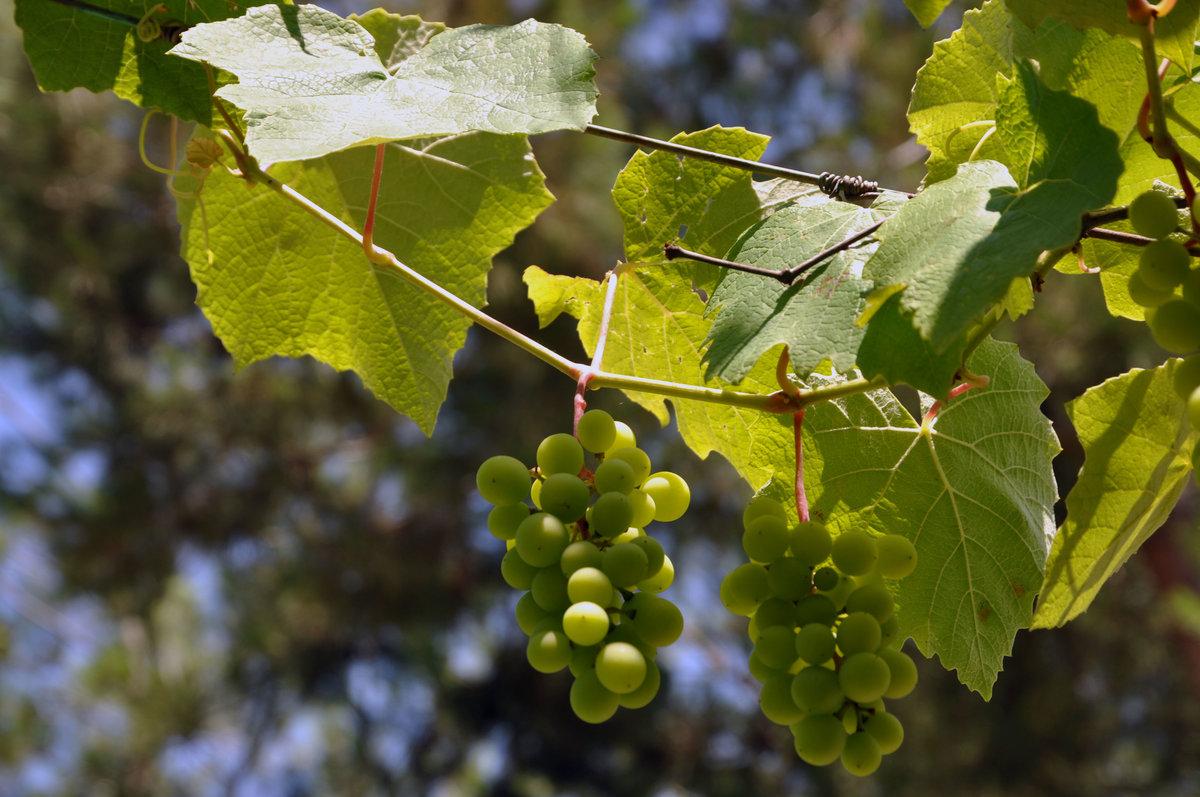 картинка виноградной ветки изготавливают смеси основе
