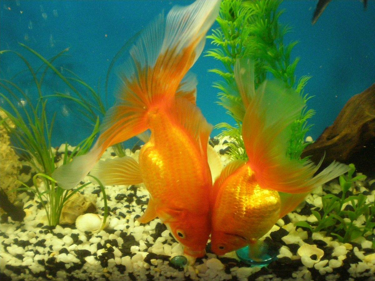 Картинки для аквариума с золотыми рыбками