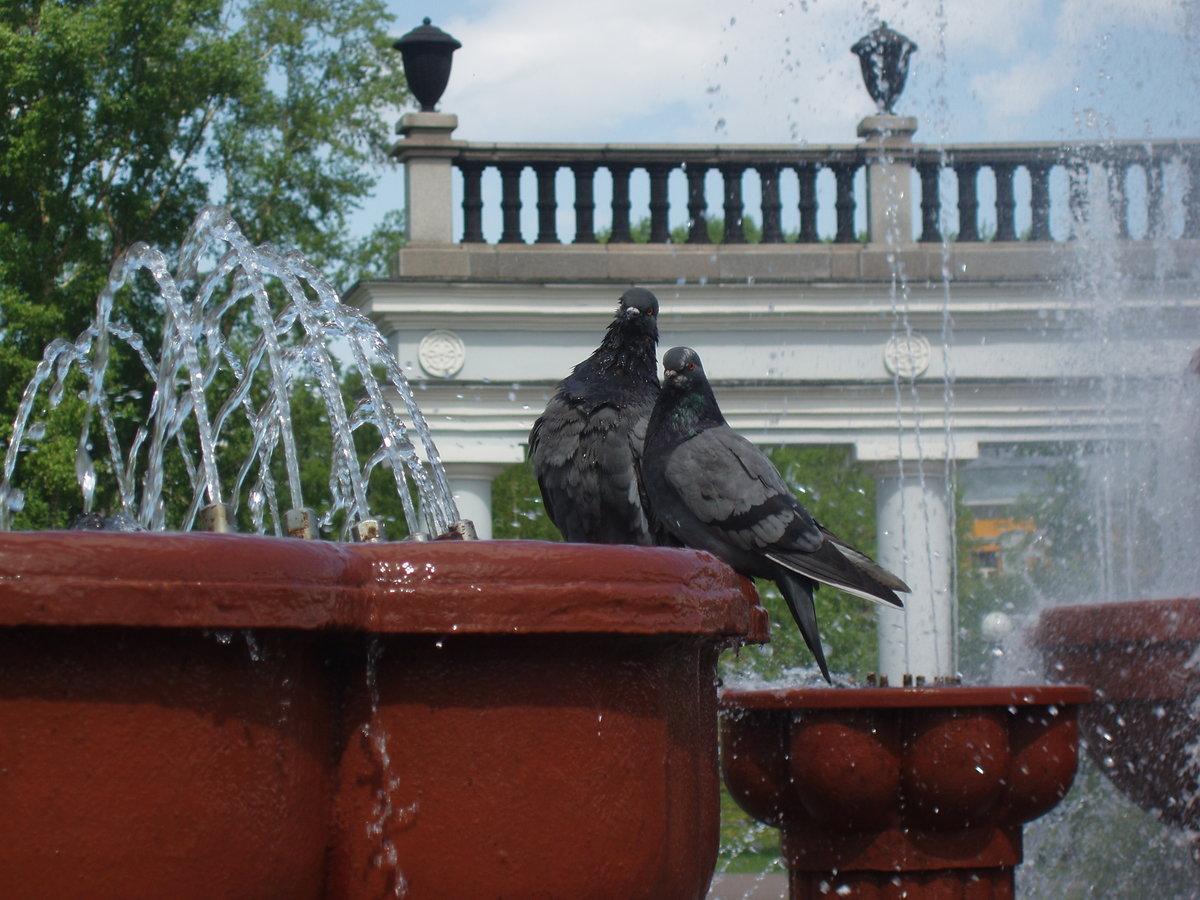 фото голубей у фонтана
