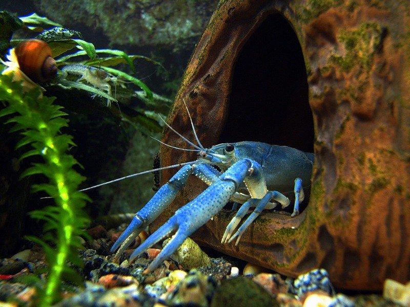 Раки аквариумные картинки