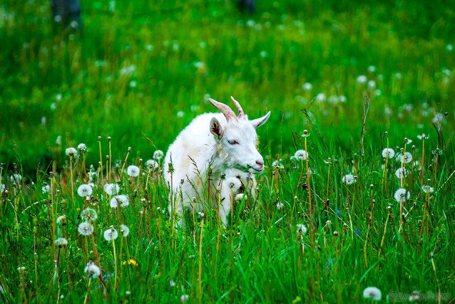 козы в лесу картинки сцене
