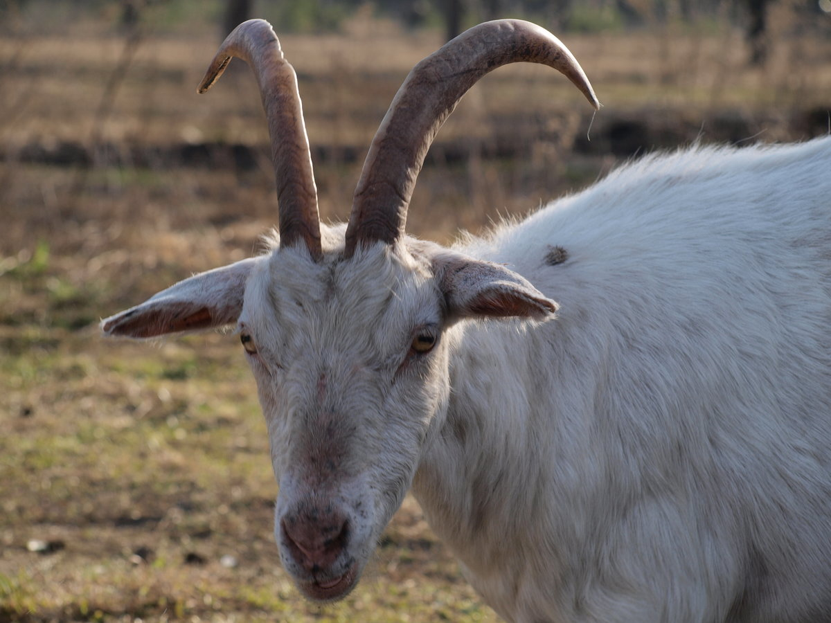Картинка козла с рогами