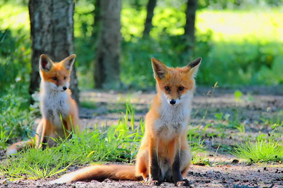 Картинки лисички играют
