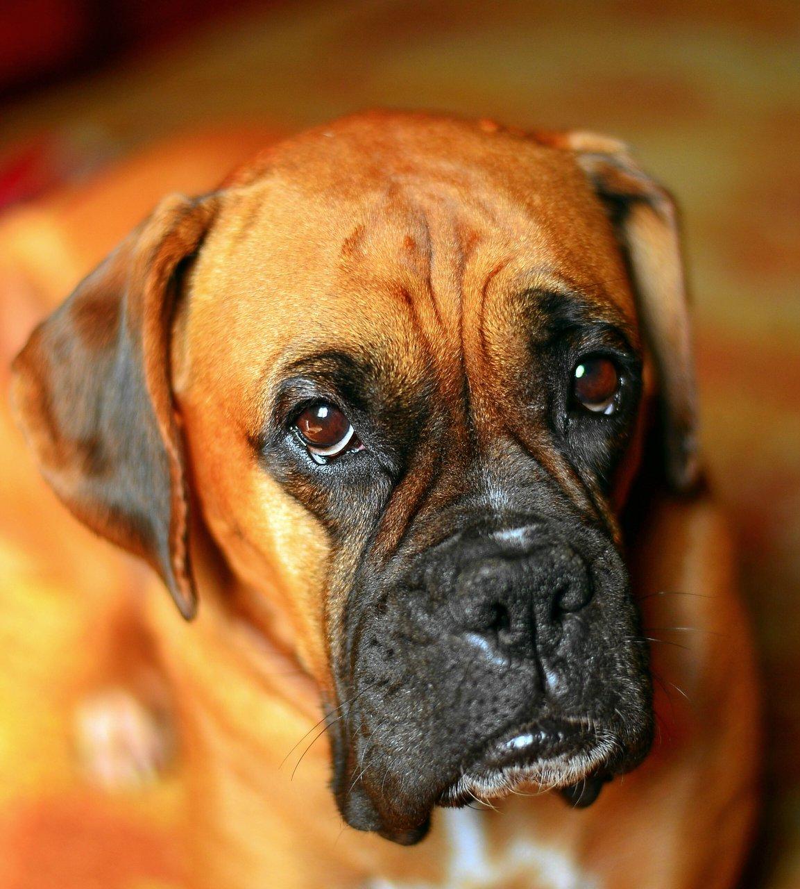 это фото собак немецких боксеров резка
