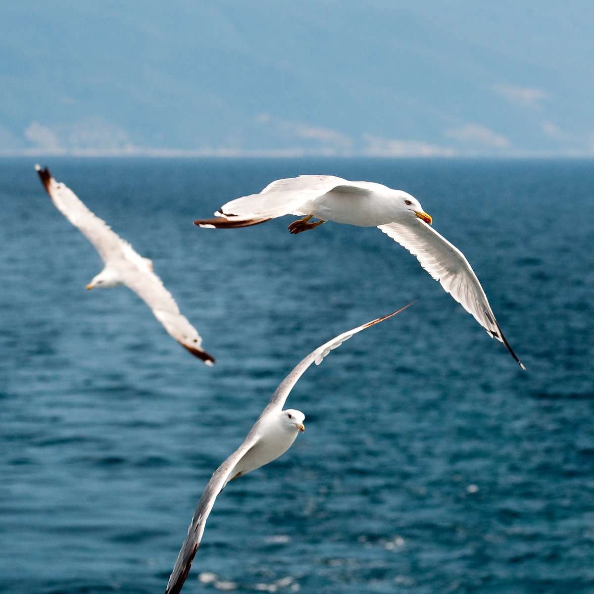 привлекает фото морских чаек в полете красочные, милые забавные