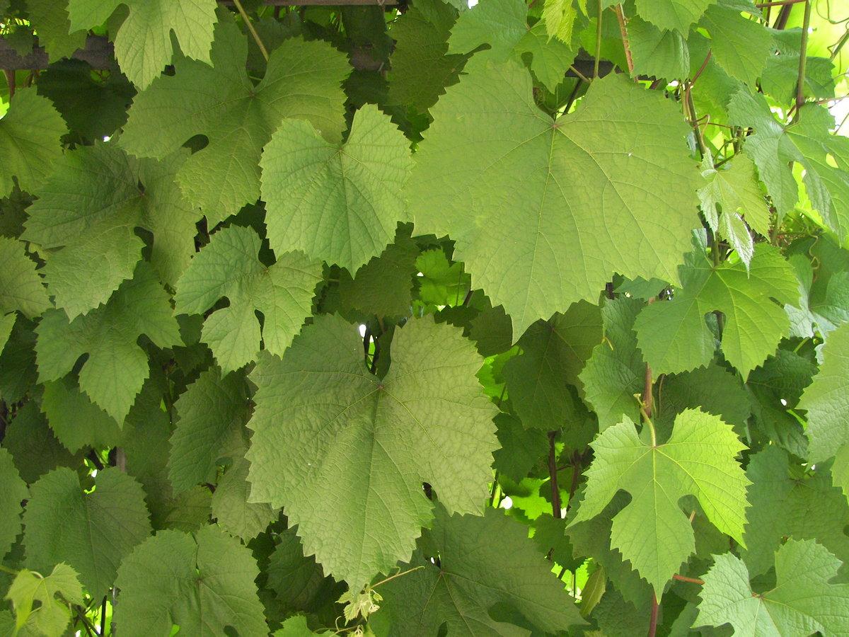фото листа винограда для меня это