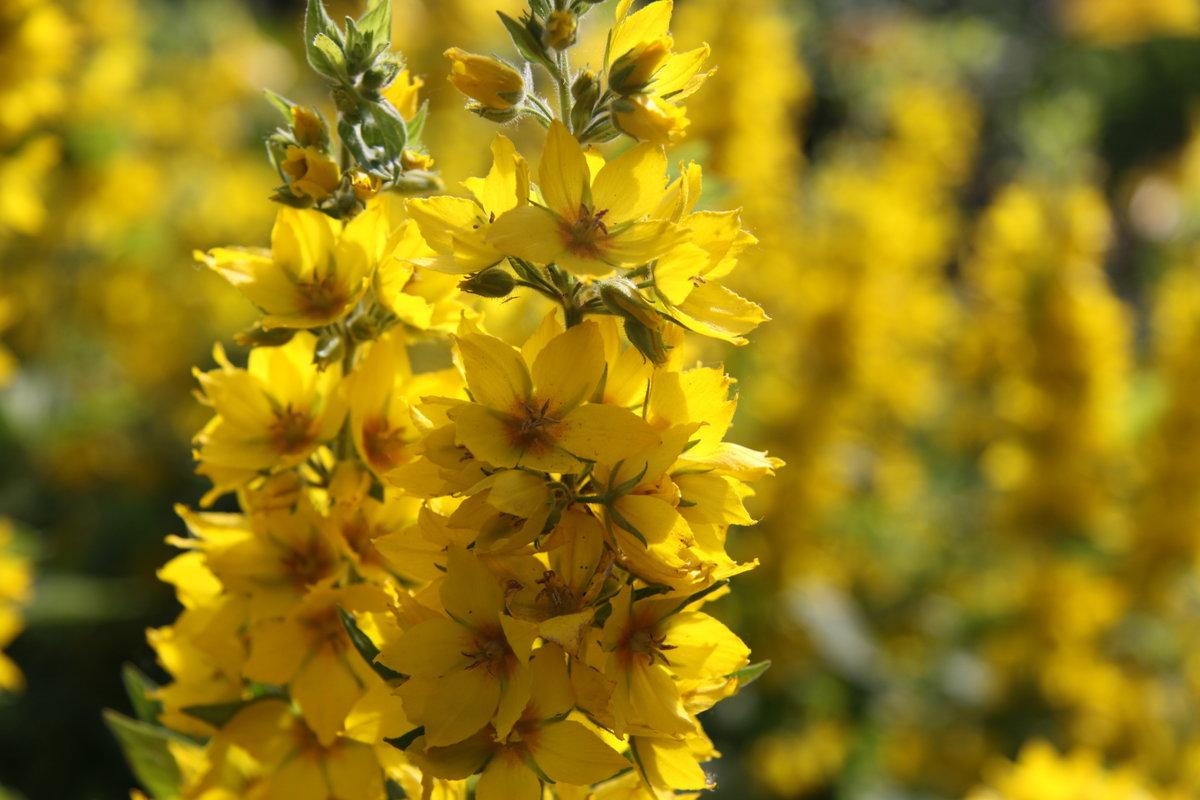 желтый цветок на даче фото поздравлять тех