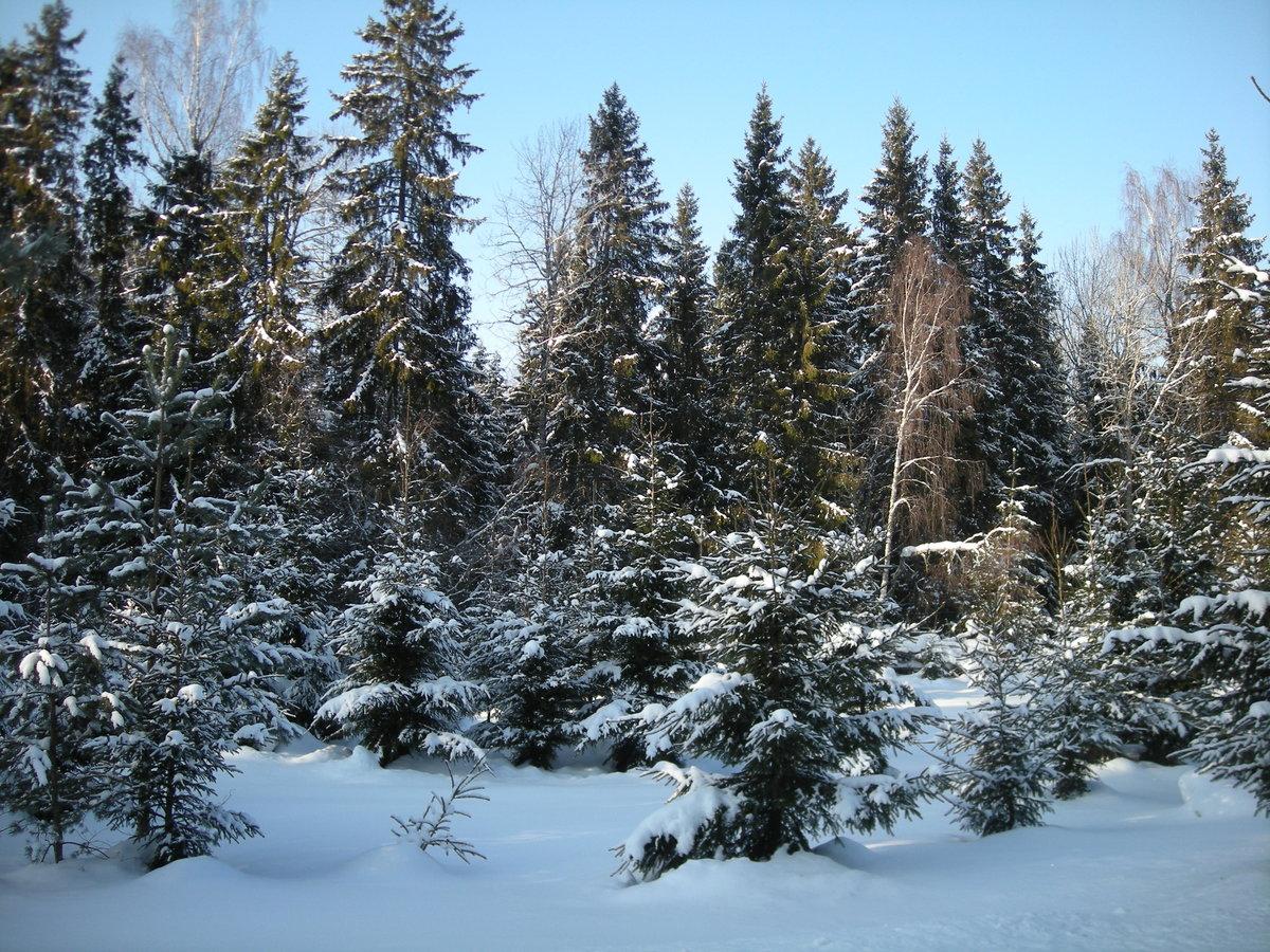 ели зимой в лесу фото каткалъа-текс общество