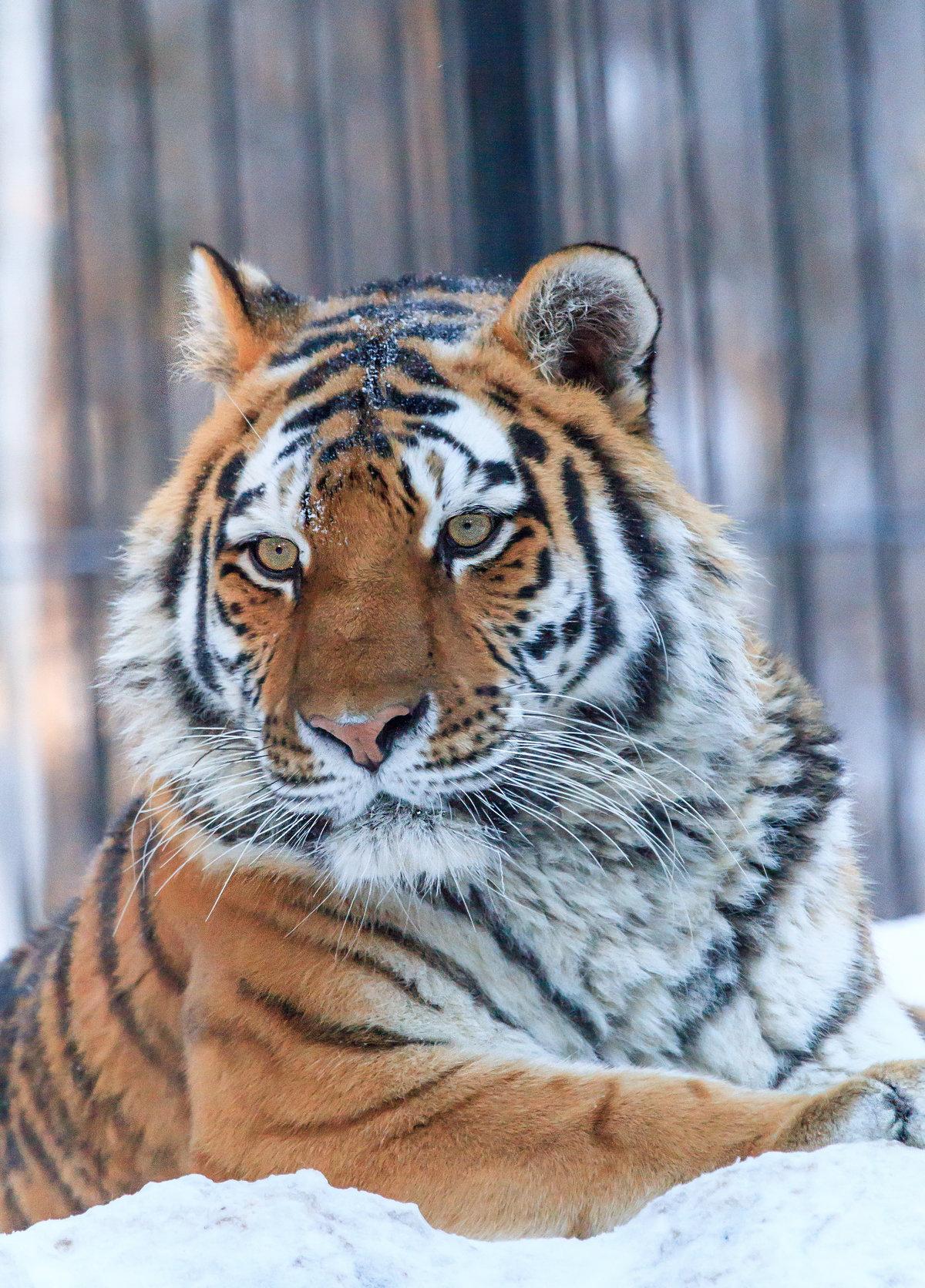Мама тигрица#город #зима #новосибирск