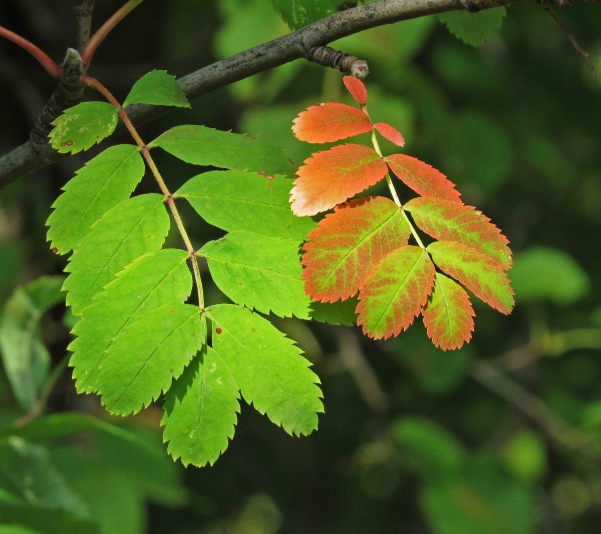 картинки осенняя листва рябина отдать
