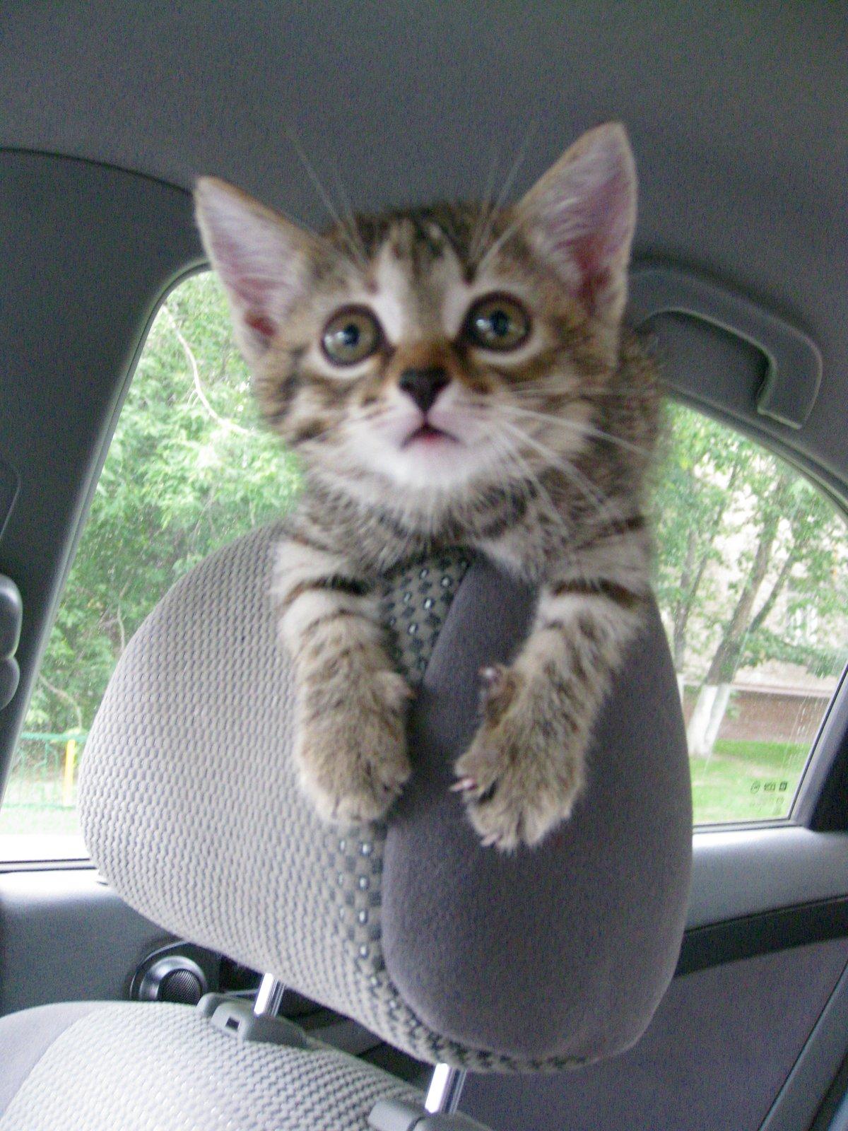 Фото кота на машине