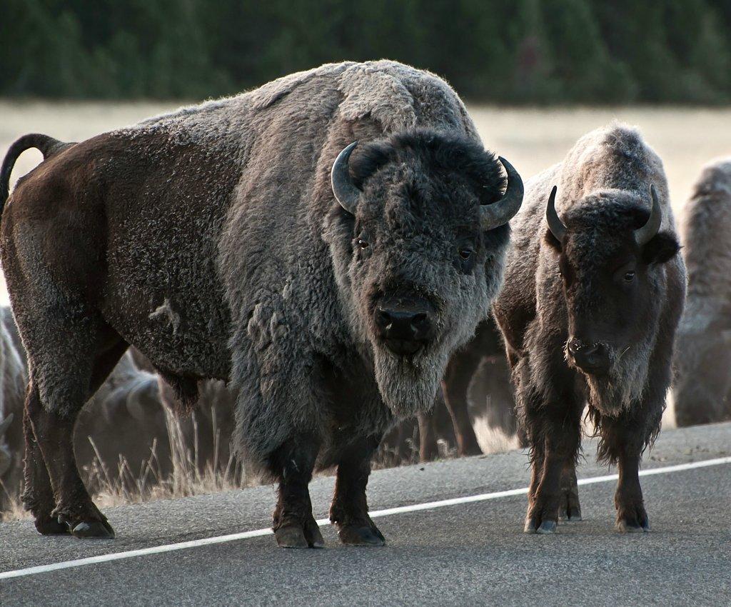 видите, что бизоны фото профессиональное иногда