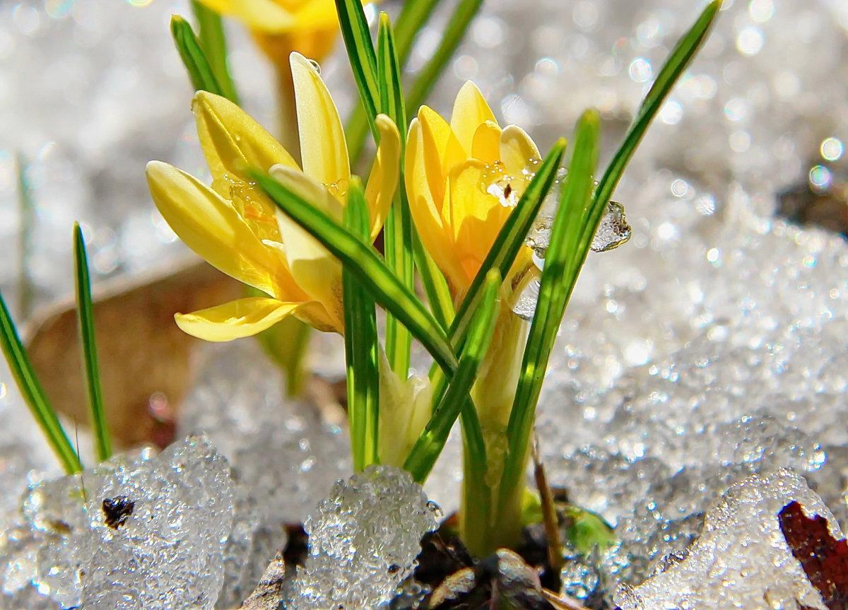 Цветок наврузгул картинка