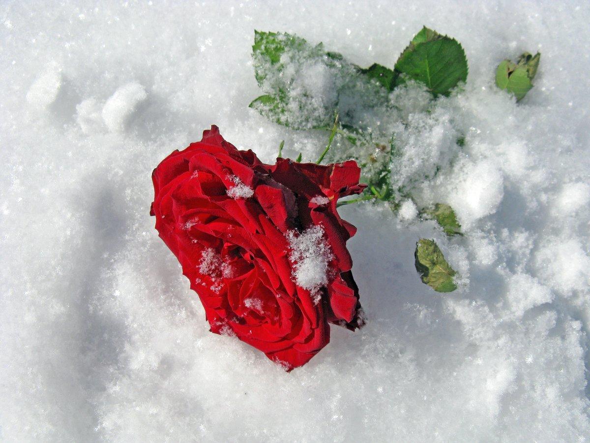 Картинки про розу в снегу