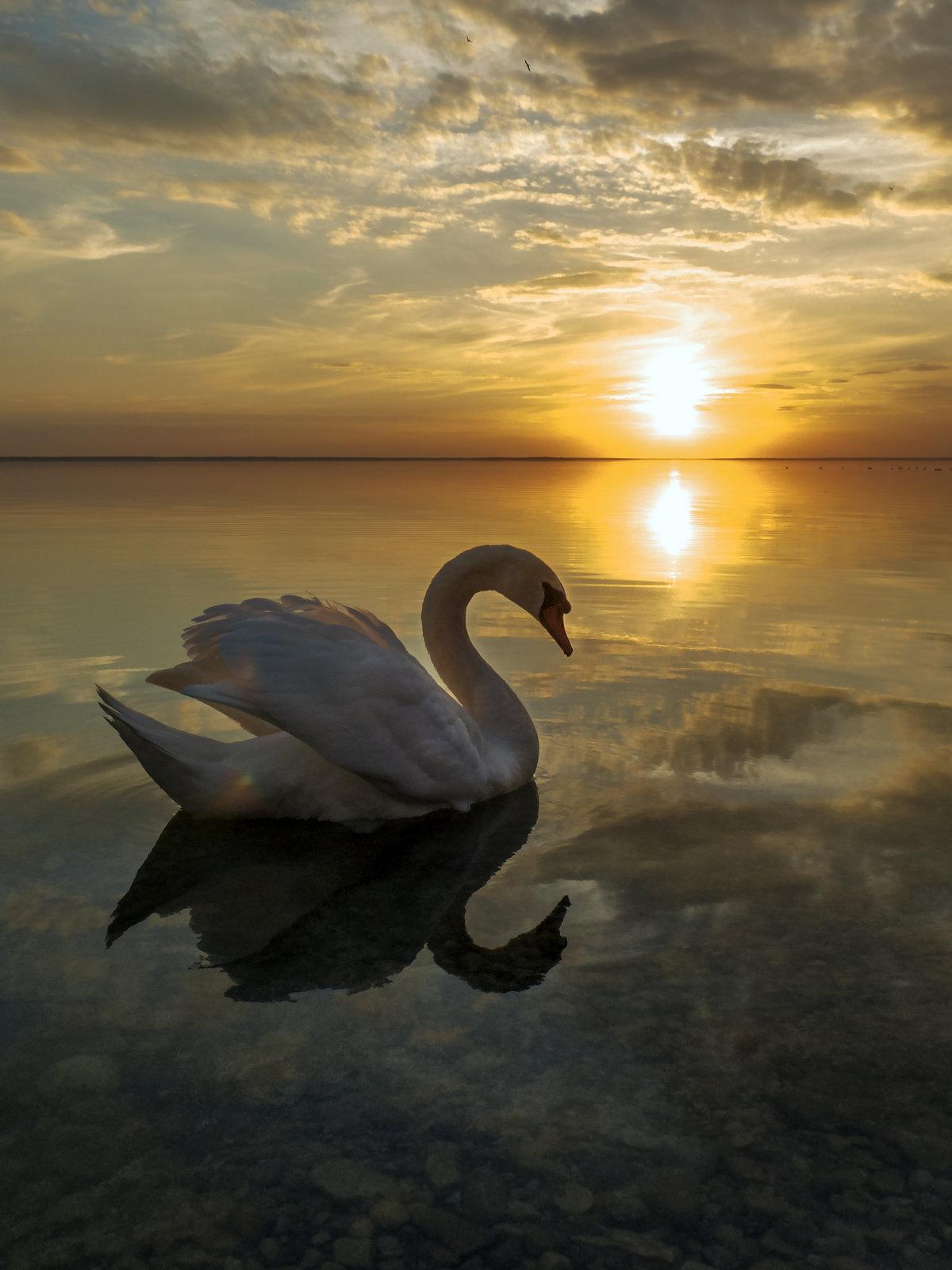 Фото лебеди на закате солнца