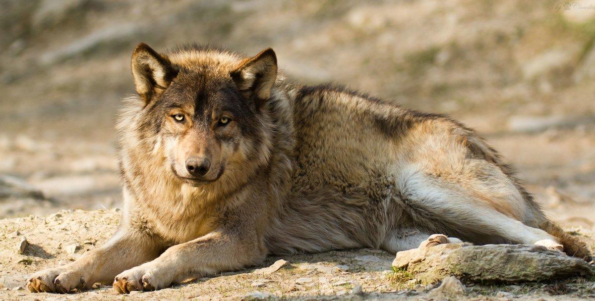 Грустный серый волк лежит на земле