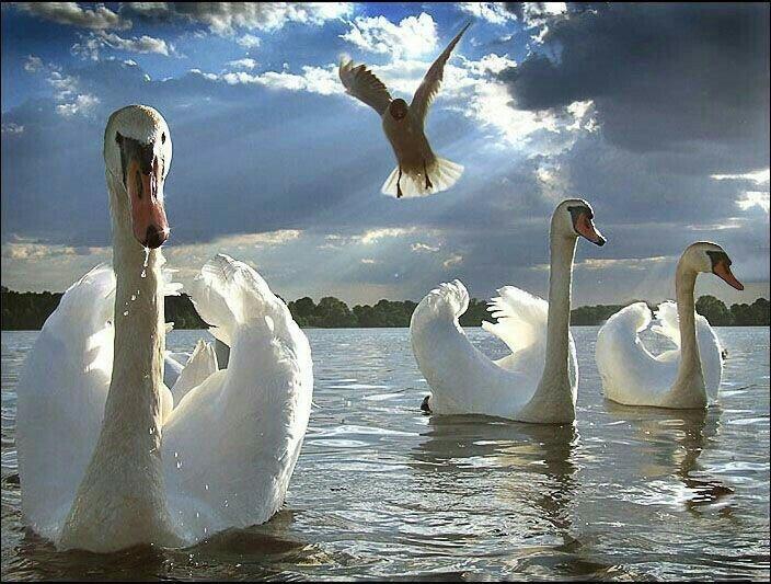 Много картинки с лебедями