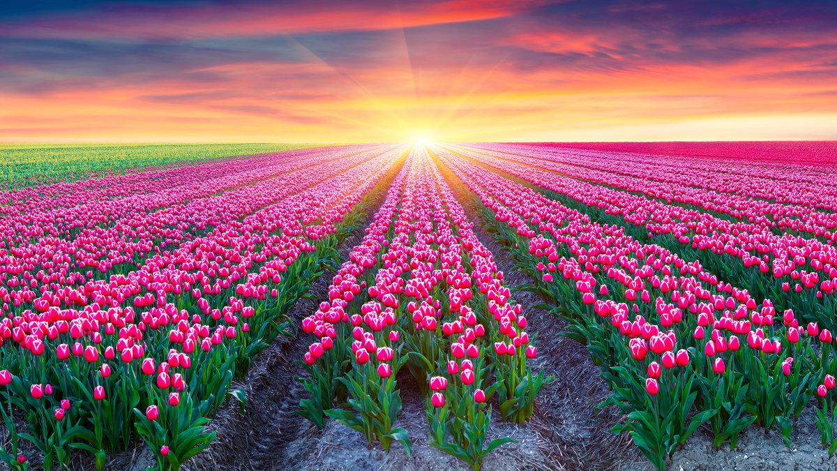 Цветы были розовые тюльпаны и несколько розовых гвоздик.