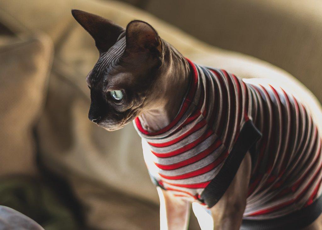 картинки лысые кошки красивые актера накопилось довольно
