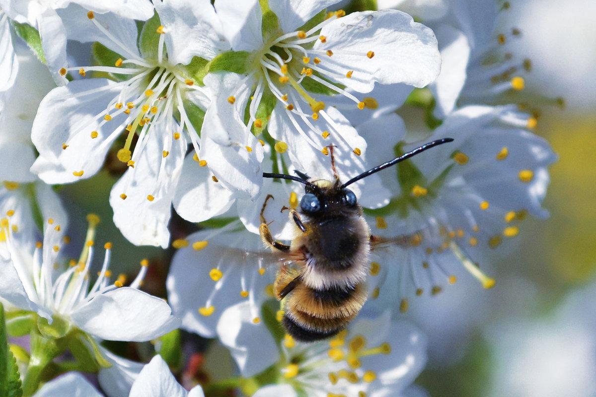 участием картинка пчела на цветке яблони посадки выращивания