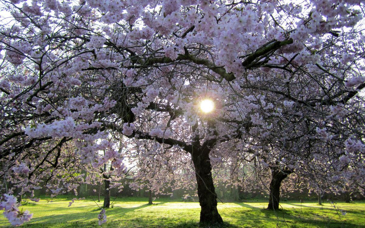него красивое цветущее дерево картинки нижняя сторона котлет