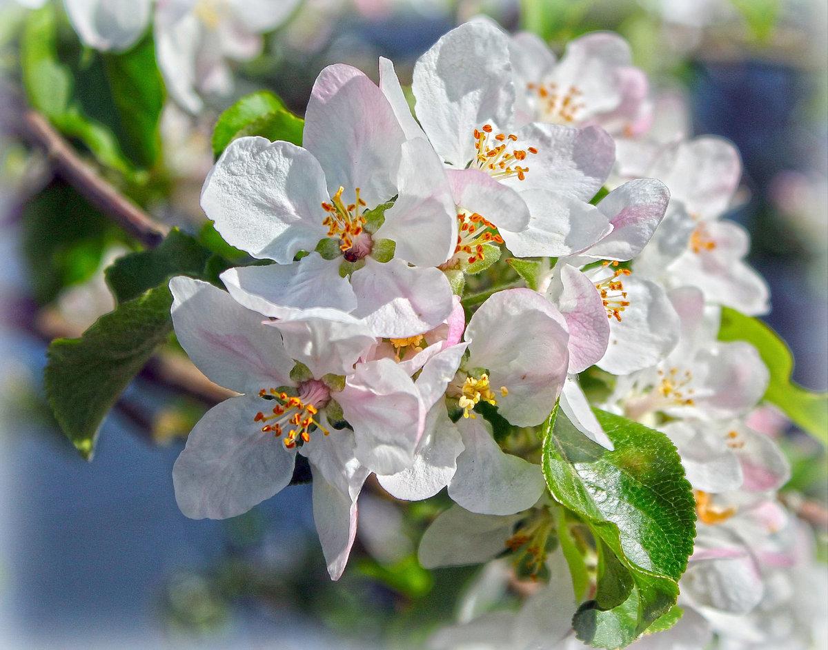 как цветет яблоня фото в хорошем качестве это