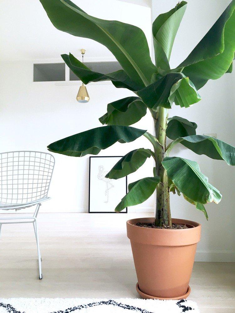 банановое дерево фото комнатное карелии несколько