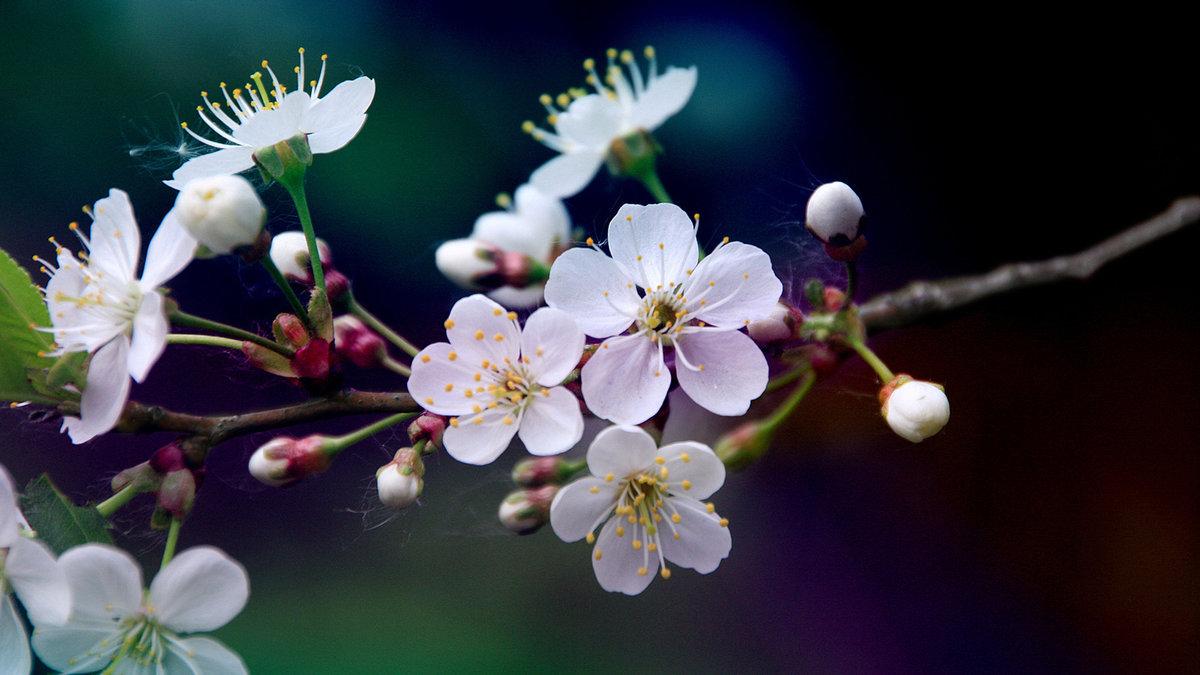 цветы вишни фото картинки только профессионалов