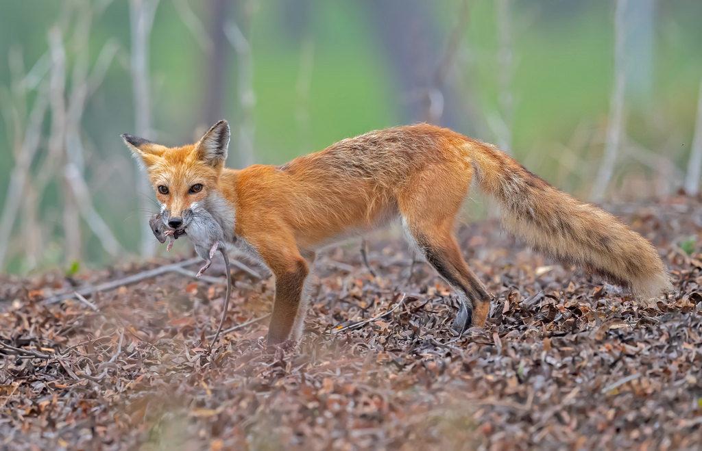 удалить виды лисиц фото описание примеру