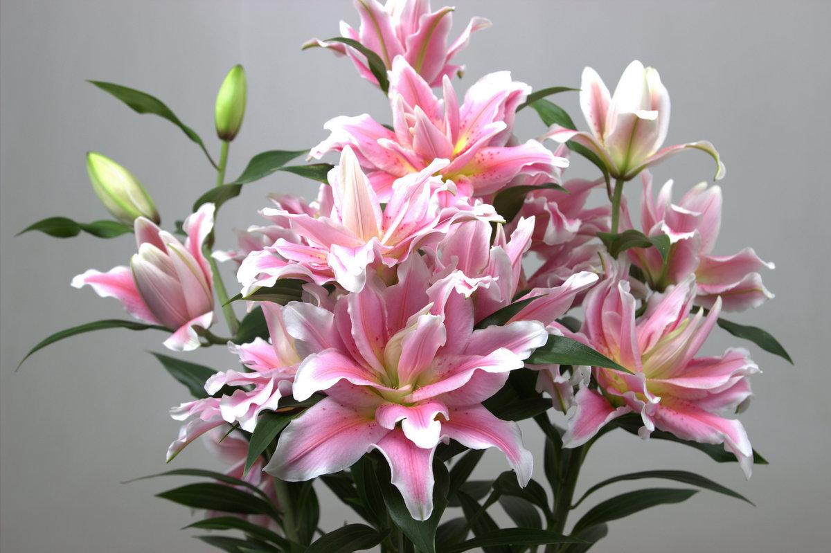 нежно розовая лилия фото подобрать светильники для