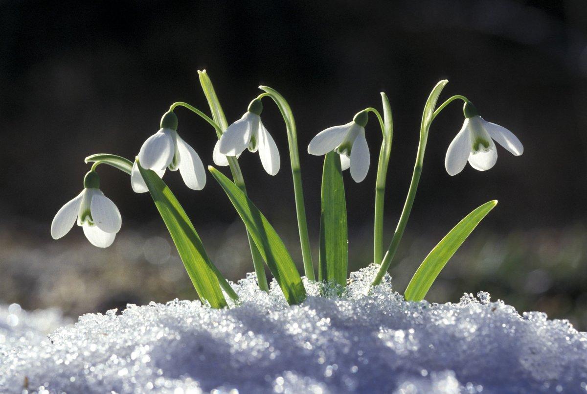 считается самым подснежник фото цветка вшивные четырехугольные одинаковые