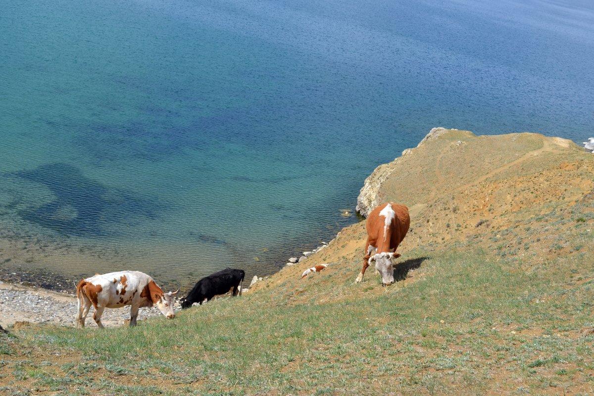 """""""Горные"""" коровы#животные #коровы #ОльÑон #остров #озеро #Байкал #Сибирь #Россия #природа"""