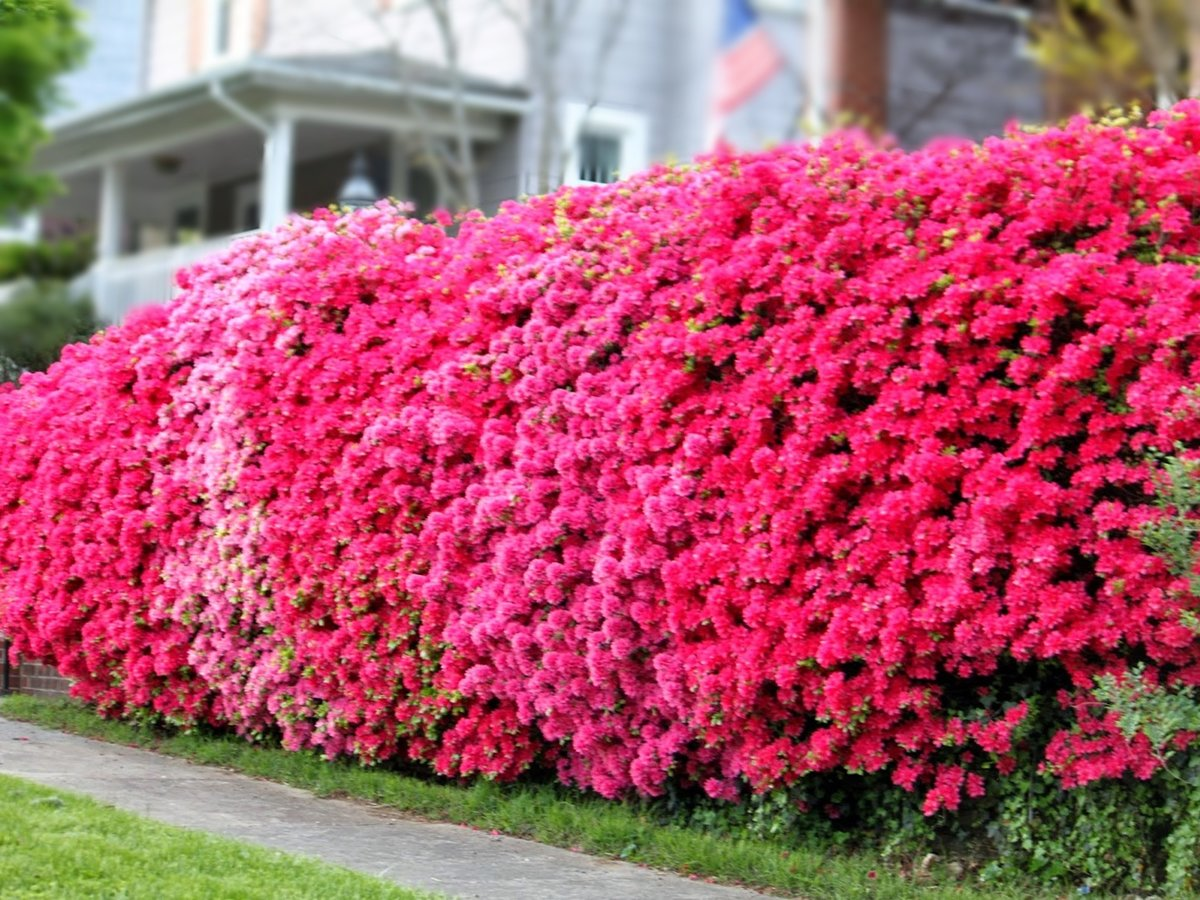 красивоцветущие кустарники для сада фото одержал победу над