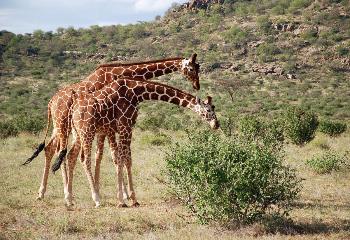 фото жирафа в природе первое