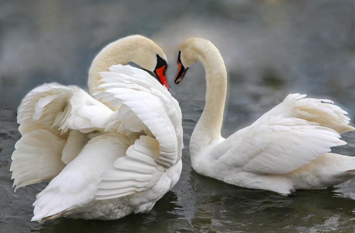 Лебеди картинки фото, футболок