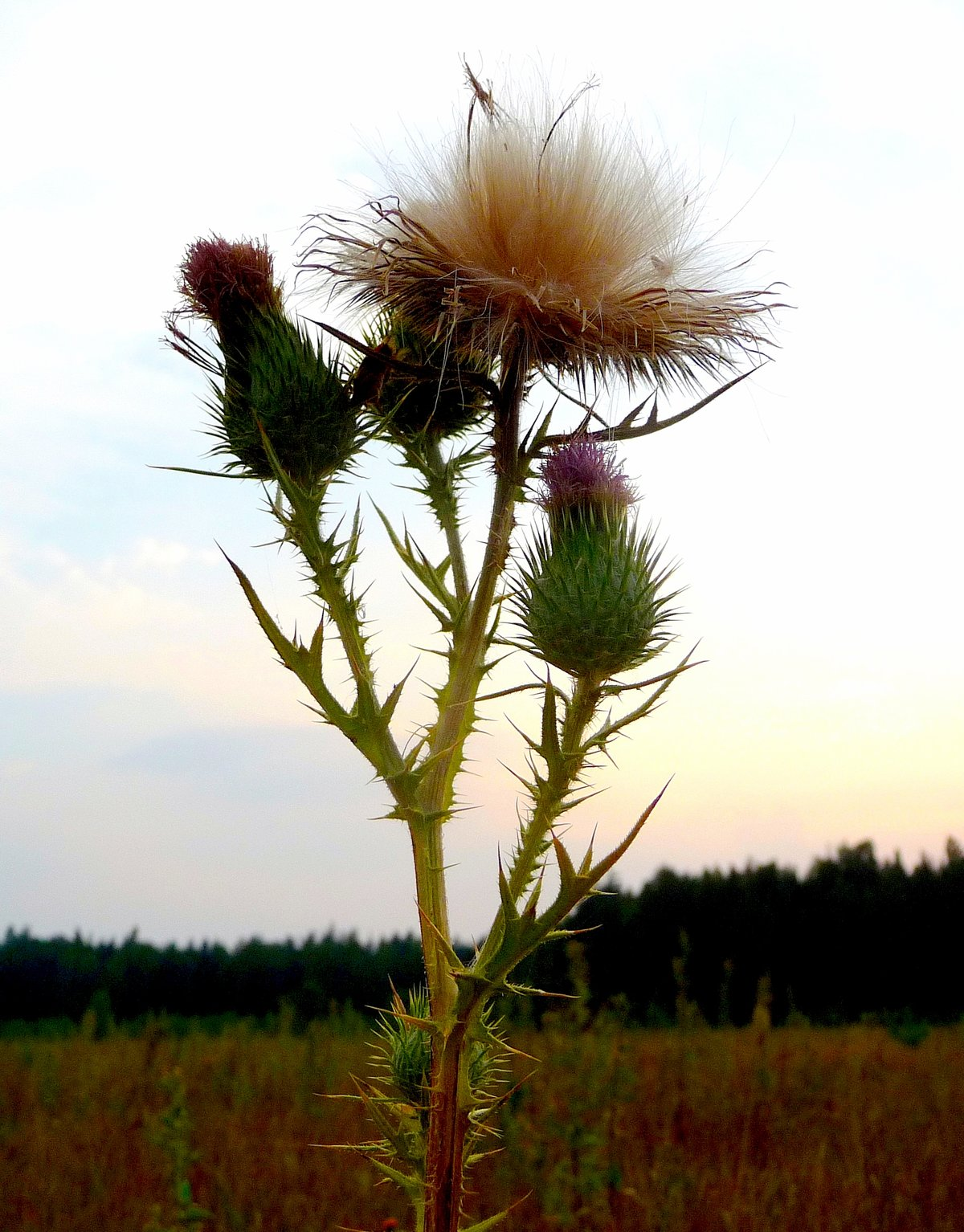 многих фотография травы чертополох снудов