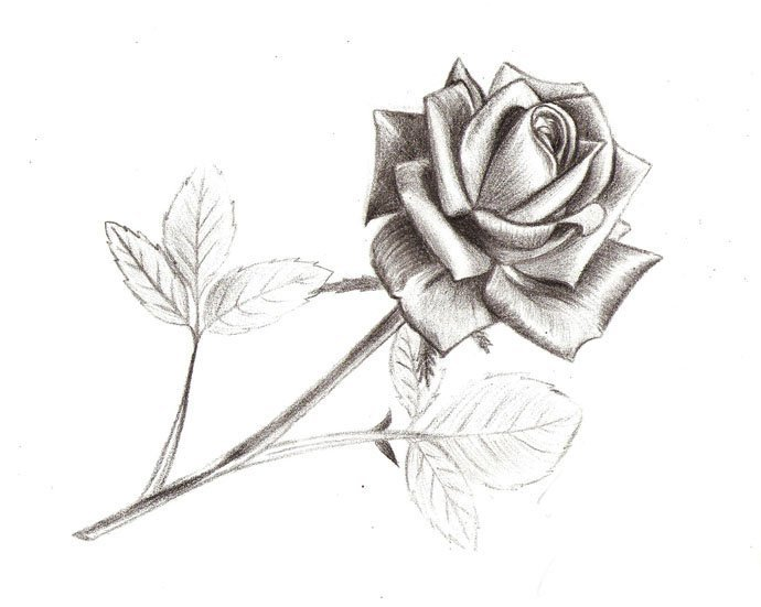 Цветы карандашом фото простые