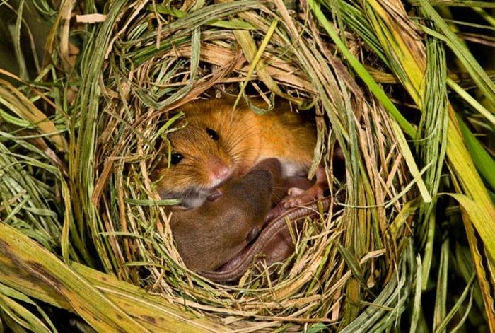 Мыши во сне - белая мышь снится к одиночеству, отрешению от внешнего мира, затворничеству в реальности, проявлению у вас какого-либо дара или таланта.