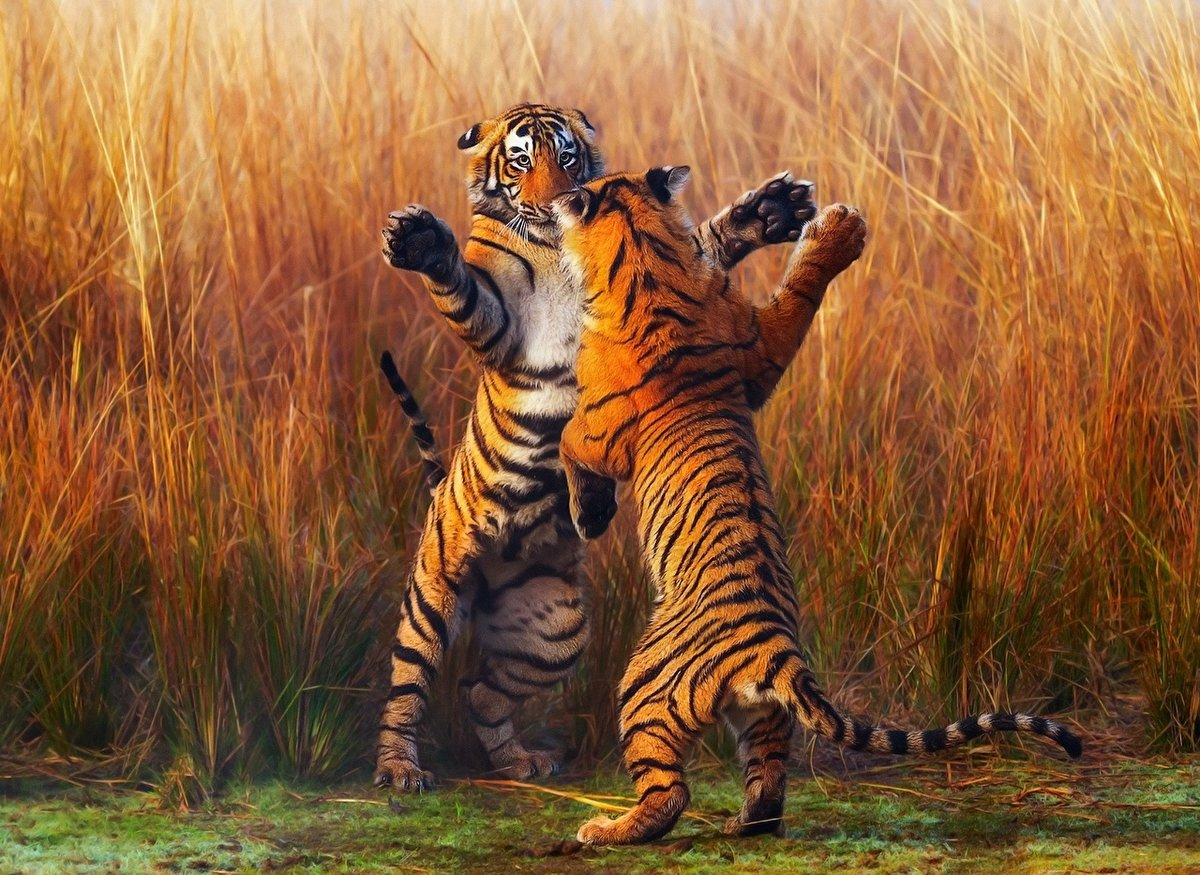 Драка тигров.