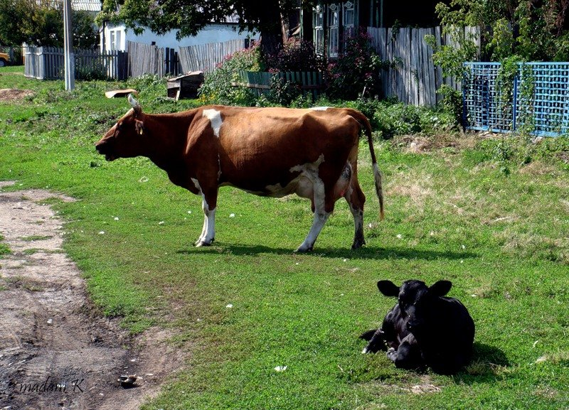 Картинка корова в деревне